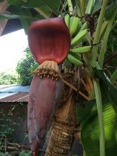 Zo groeien bananen!